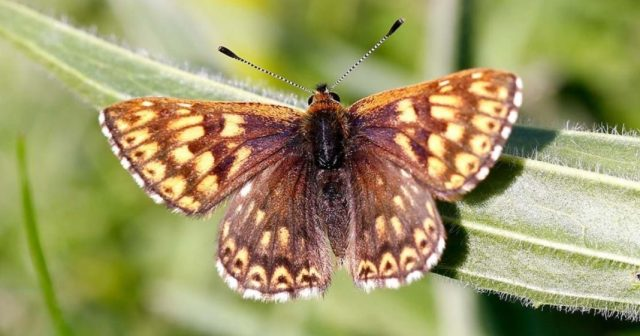 borboleta Hamearis lucina (Duke of burgundy)