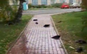 Британский таблоид рассказал о гибели ворон под Новосибирском