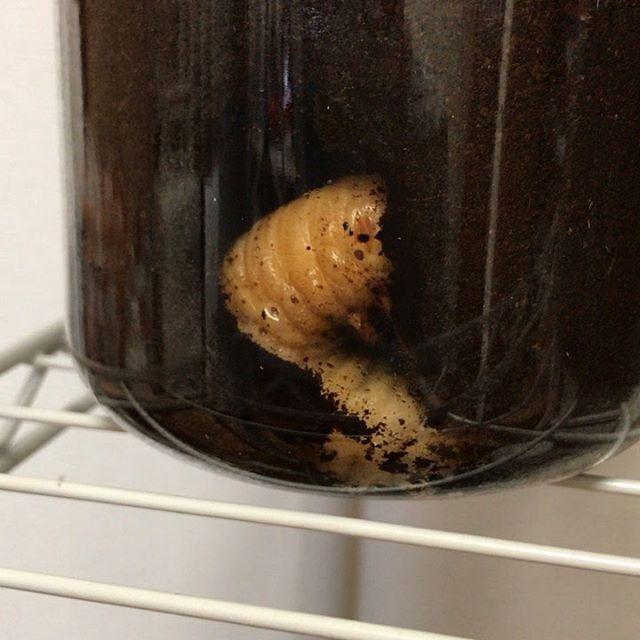 ️閲覧注意️カブト虫の幼虫が蛹になるゾーンに入ったようですすごい動くんですね#カブト虫 #カブト虫の幼虫 #カブトムシ #カブトムシ幼虫 #カブトムシ飼育 - from Instagram
