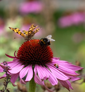 comma-bee-and-ladybird-on-coneflower_cath-walker