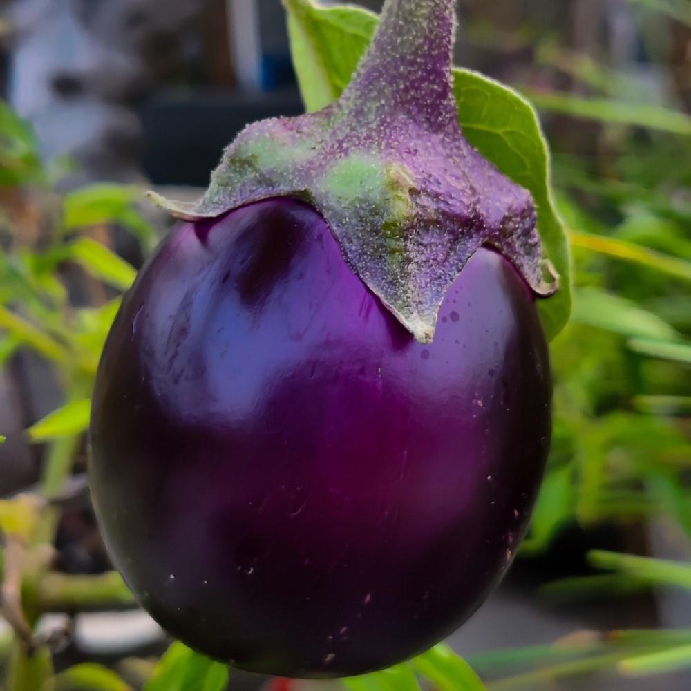 brinjal-eggplant