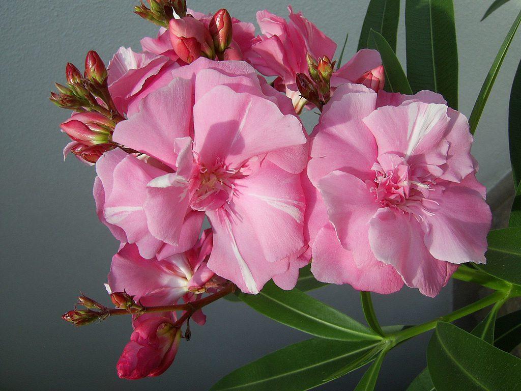 Oleander houseplant
