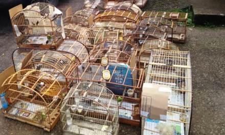 Delegacia do Meio Ambiente apreende pássaros silvestres que seriam vendidos de forma clandestina