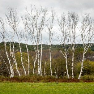 Point Oneida birch trees