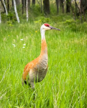 Sandhill Crane-8953