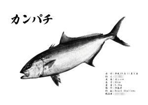 カンパチ墨風魚拓