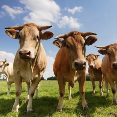 cows emit methane