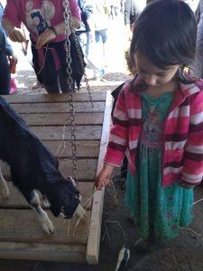 Child feeding baby goat.