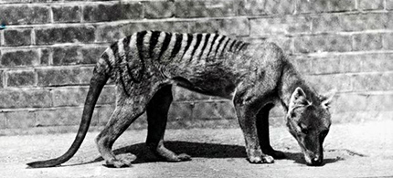A Tasmanian tiger in captivity, circa 1930, shortly before the species became extinct. (photo: Paul Popper/Popperfoto/Popperfoto/Getty Images)