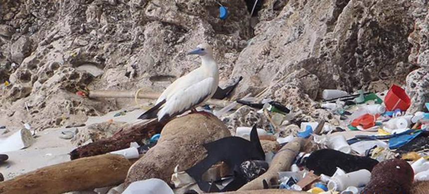 Some species of albatross and shearwaters seem to be the most prone to eating plastic pieces. (photo: Britta Denise Hadety/CSIRO/AP)