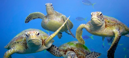 Green turtles swimming in the Great Barrier Reef, Queensland. (photo: Troy Mayne)