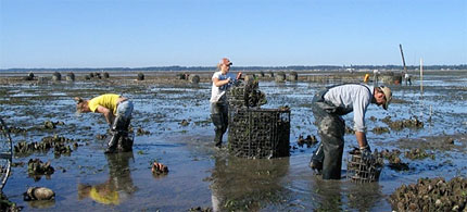 Workers harvest oysters in Willapa Bay, Washington. (photo: NOAA/Taylor Shellfish Farms)