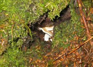 Mushroom_hedgehog_tree cavity