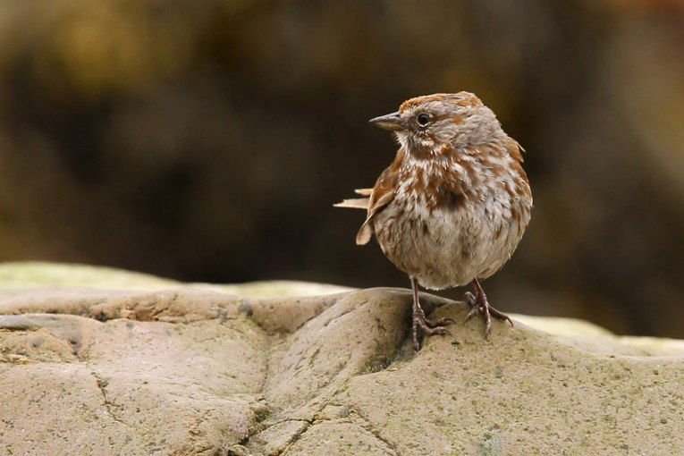 Aleutian Song Sparrow