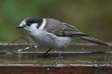 Gray jay or camp robber