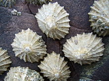 limpets1