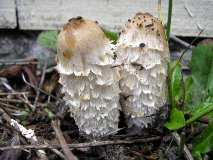 shaggy-mane-mushrooms