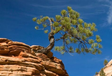 Pinyon pine clinging to cliffside