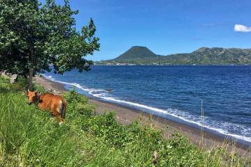 A cow grazes near a volcanic beach on the way to Bajawa, Flores Island, Indonesia