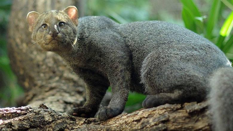 puma-yagouaroundi
