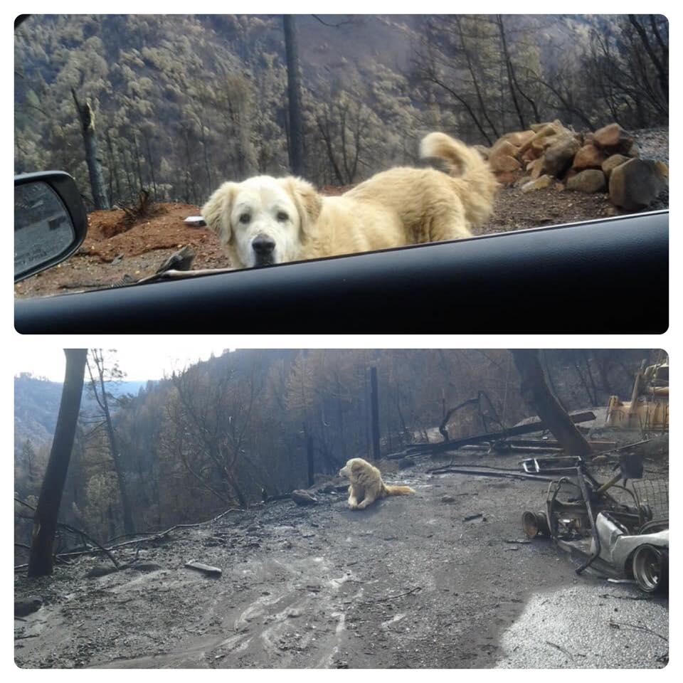 Собака месяц ждала хозяев у сгоревшего в калифорнийском пожаре дома