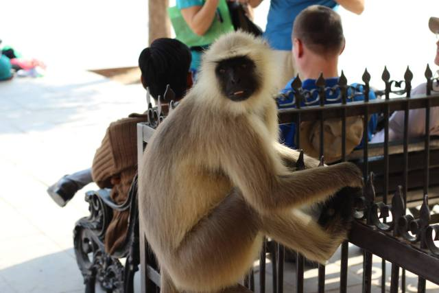 Tame Monkeys in Jaipur wait eagle eyed for bananas from tourists