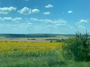 sunflowers in bulgaria