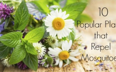 It's All Flower Power: 10 Popular Plants That Repel Mosquitoes