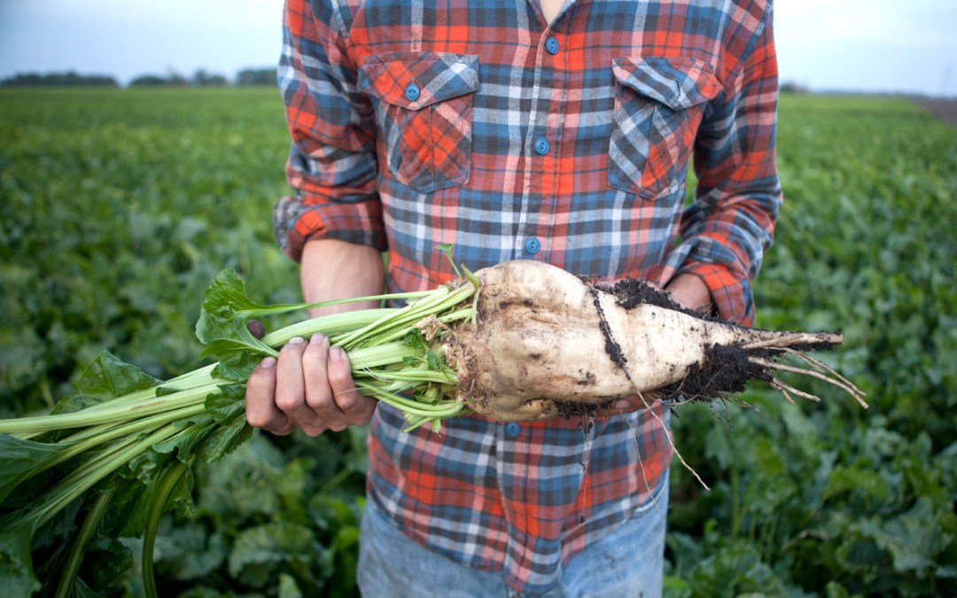 You Need to Grow A LOT of Sugar Beet to Get a Little Sugar