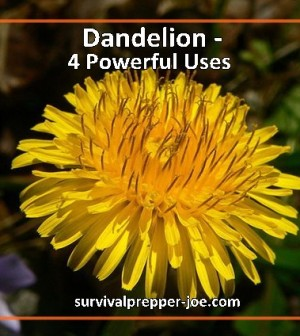Dandelions – 4 Powerful Uses