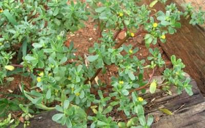 Don't Pull That Weed! A Closer Look at Purslane