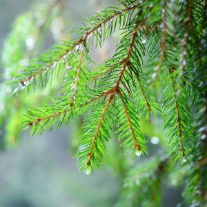 water on evergreens