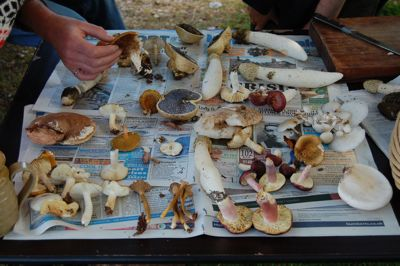 4 Safe Edible Mushrooms for Foragers and Cheapskates