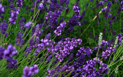 15 Ways Lavender Makes Life Better