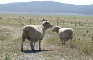CSIRO_ScienceImage_3459_Sheep_in_paddock