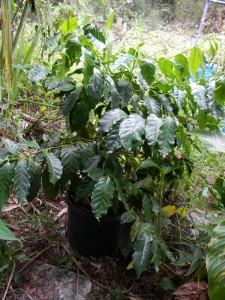 CoffeePlant-225x300