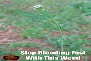 Stop-Bleeding-Fast-With-This-Weed-Shepherds-Purse