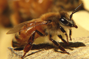honeybee wikimedia