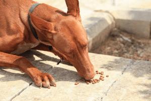 dog eating wikimedia