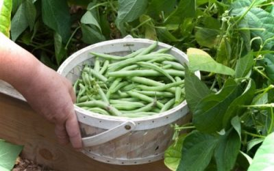 Want All the Green Beans You Can Eat? Get the Best Harvest With These Growing Tips