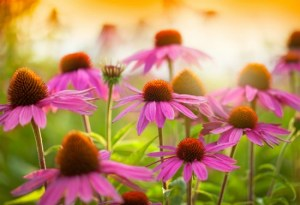 Echinacea is perhaps most widely used as an herbal remedy to help fight off colds or the flu once ill.  It's often used in a tea or as a supplement to boost the body's natural immune system, yet it has even more incredible health benefits even if you aren't sick with a cold! #ReadyNutrition