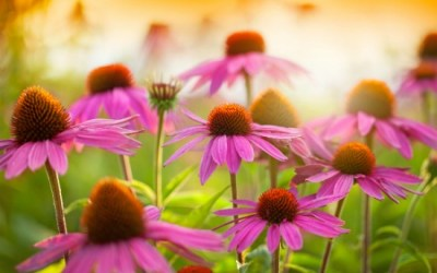 4 Healthy Reasons Why Echinacea is a Wondrous Medicinal Herb
