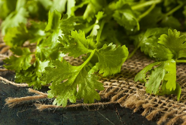 Cilantro: How This Versatile Herb Could Be a Lifesaver in an Emergency