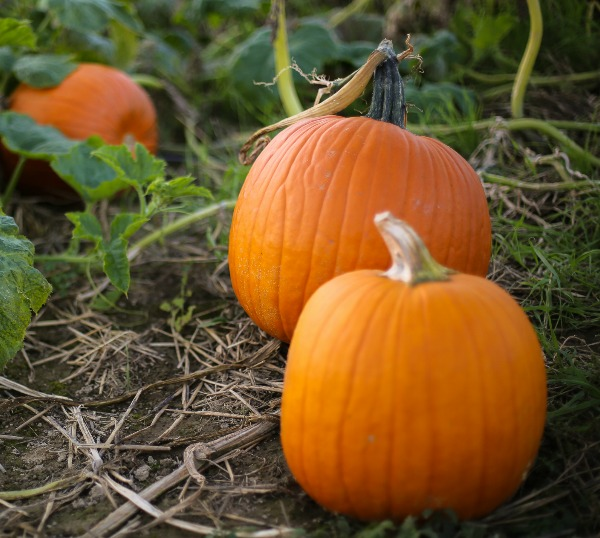 A Growing Guide For Small Sugar Pumpkins