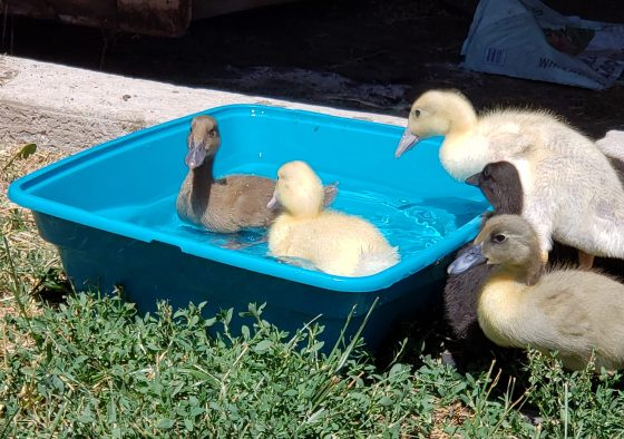 We've taken to owning ducks like ducks to water! It's cute cliche, but I also have some advice for new duck owners looking to improvise or DIY a watering situation or pool for them to swim in. Because let's be real: ducks take to the water, and therefore, their water is everywhere!
