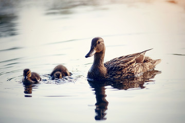 Like Ducks to Water: How to Improvise Your Ducks' Watering and Make a DIY Pool