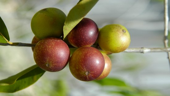 The Surprising Health Benefits Of Camu Camu Berries