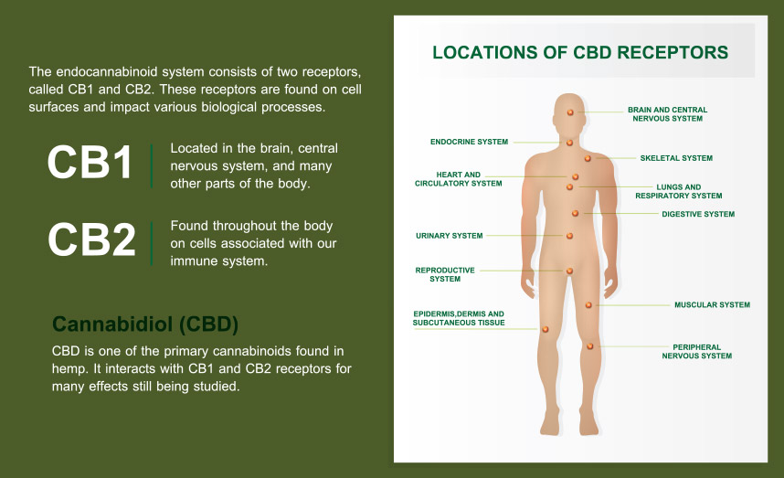 CBD and the Endocannabinoid System