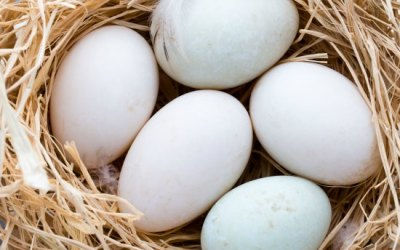 How To Maximize Duck Egg Production From Your Flock