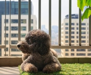 poodle in apartment